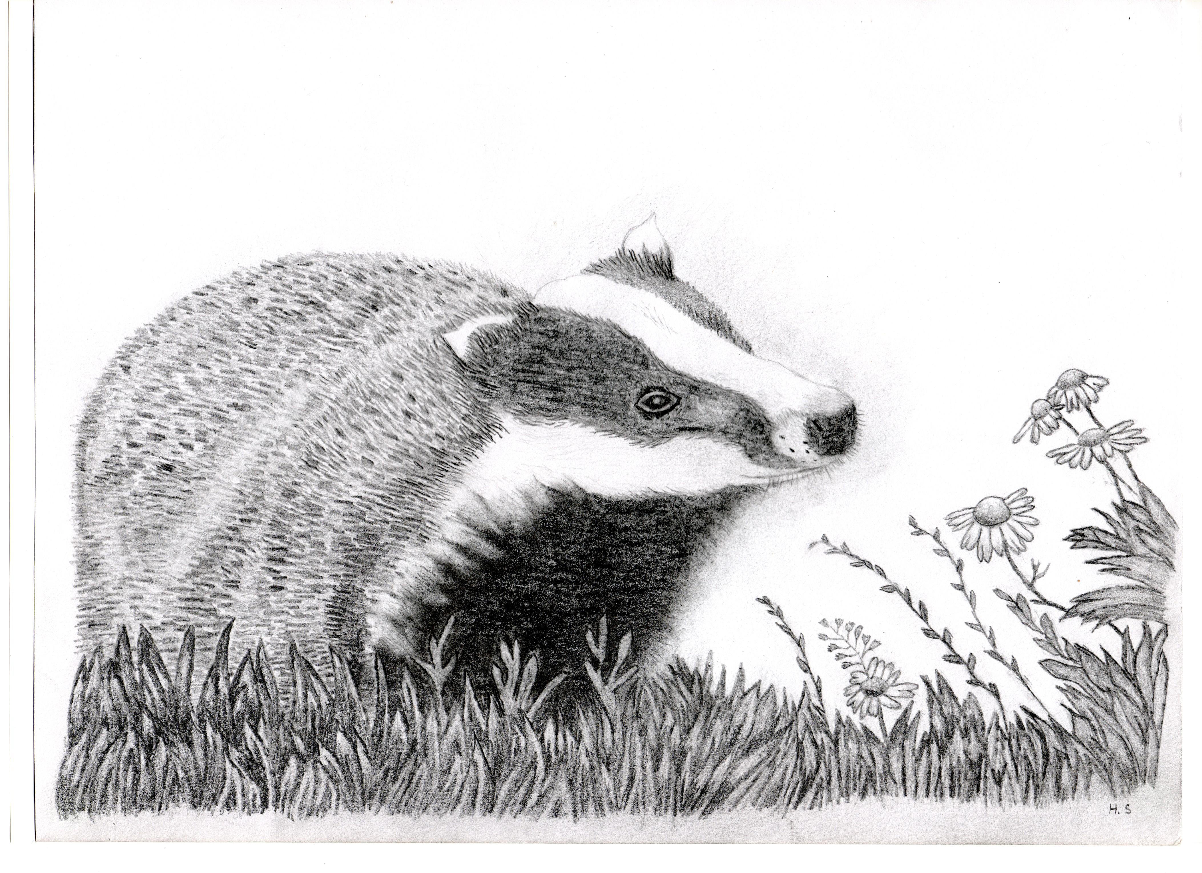 Uncategorized Badger Drawing badger info image description
