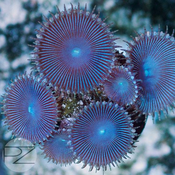 PZ Blue Implosions