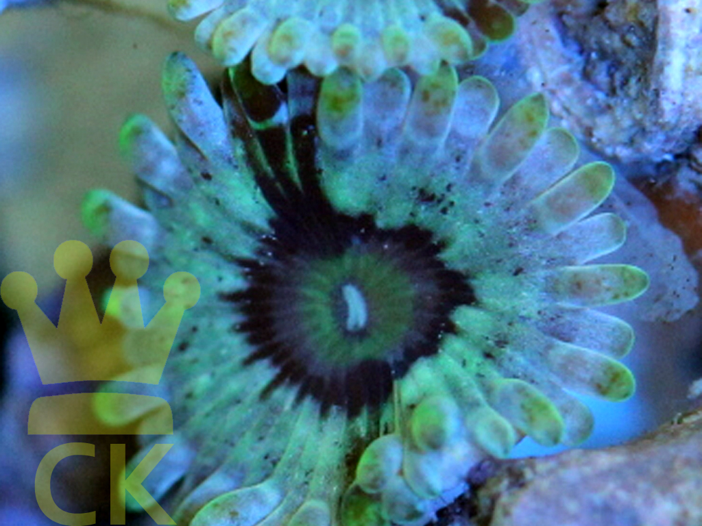 Dusty Diamonds Zoa