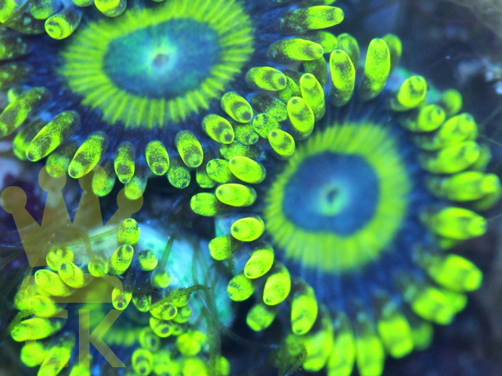 Yellow Jackets Zoa