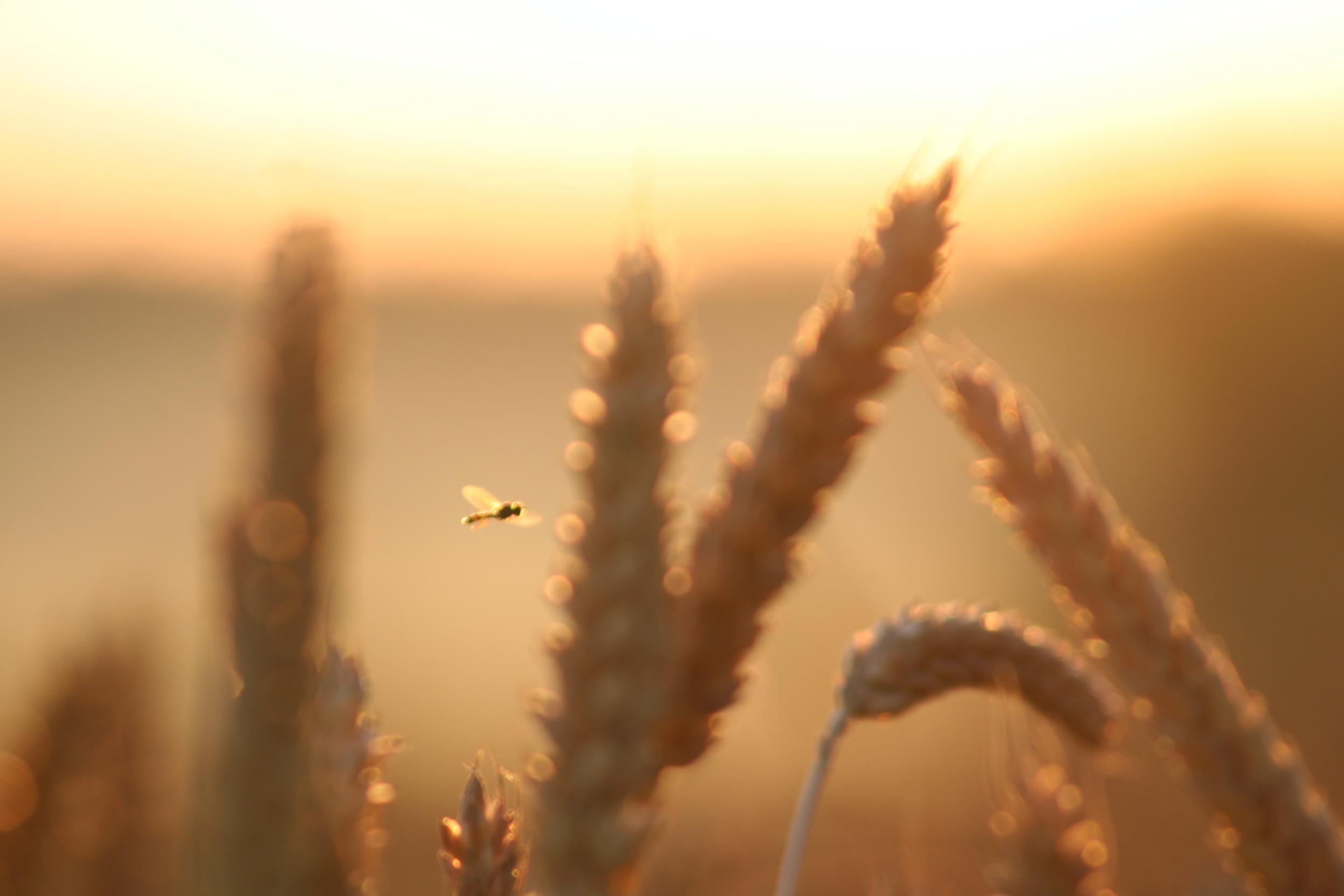Thatching wheat
