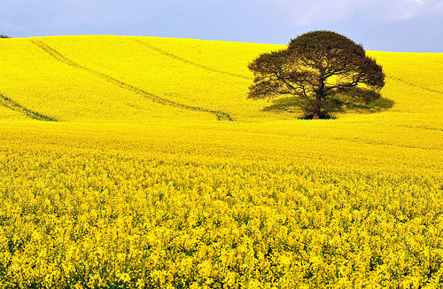 Look at all this Rape Rapeseedoil