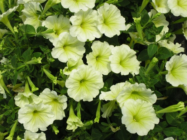 Petunia Surfinia Lime