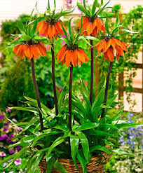 Crown Imperials - The Giant Fritillaria!