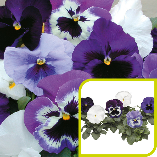 Pansy; Rhythm & Blues Mix