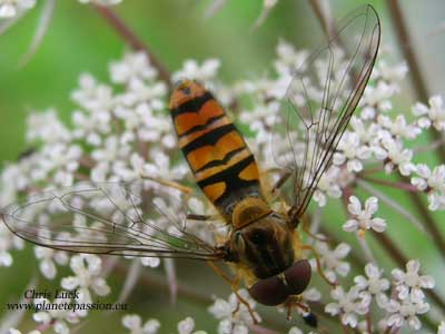 Marmalade Hoverfly - Episyrphus balteatus France