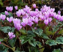 Hardy Cyclamen - 3 to choose from! - Excellent for naturalising