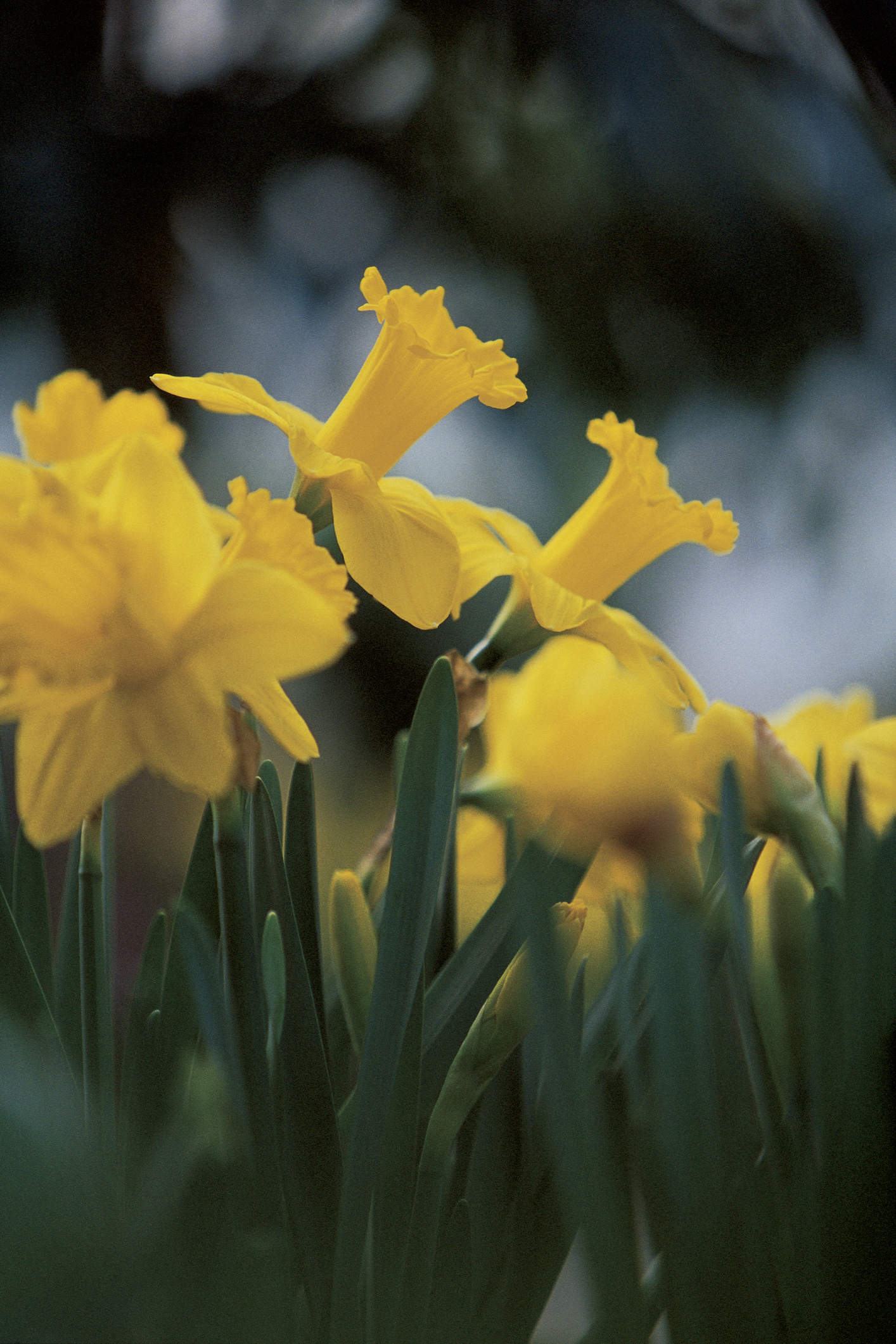 A close up image of a group of yellow daffodil flowers in field.