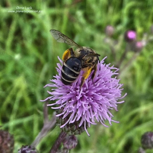 Solitary bee on creeping thistle France