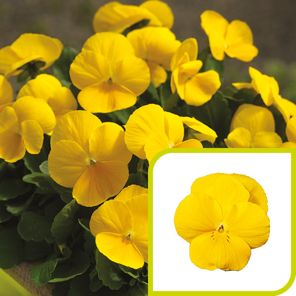 Viola; Golden Yellow