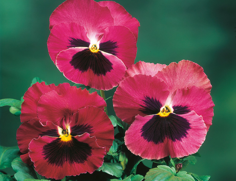 Pansy; Rose with Blotch