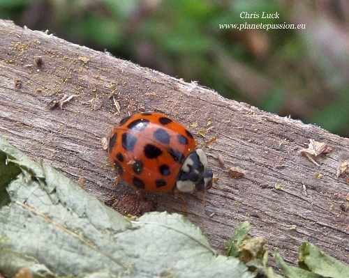 Harlequin ladybird France