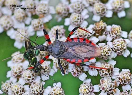 Rhynocoris (Rhynocoris) annulatus France