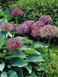 25 Allium Christophii - Save 50%