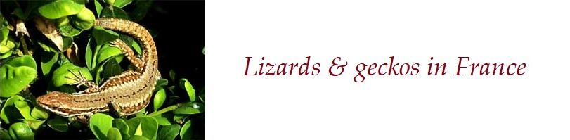 Lizards and Geckos in France