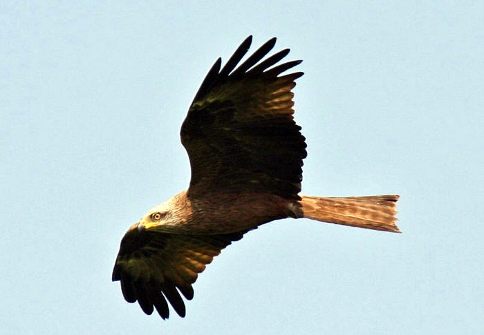 Black-Kite-in-France