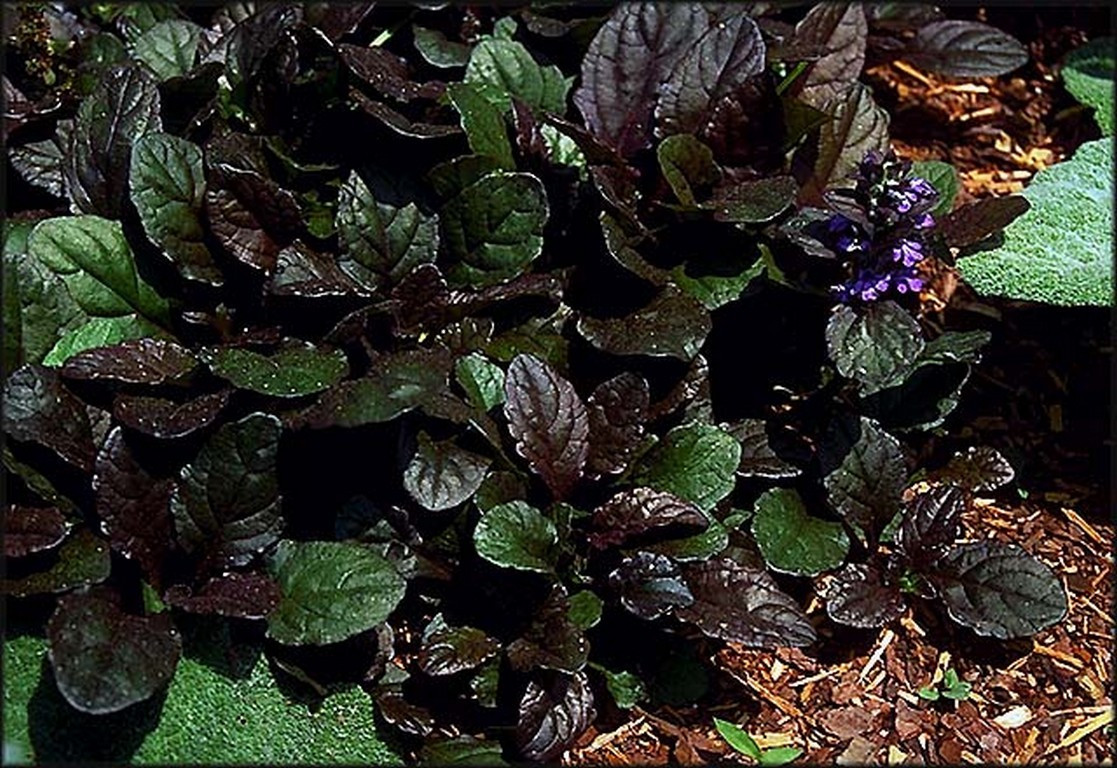 Ajuga chestnut brown