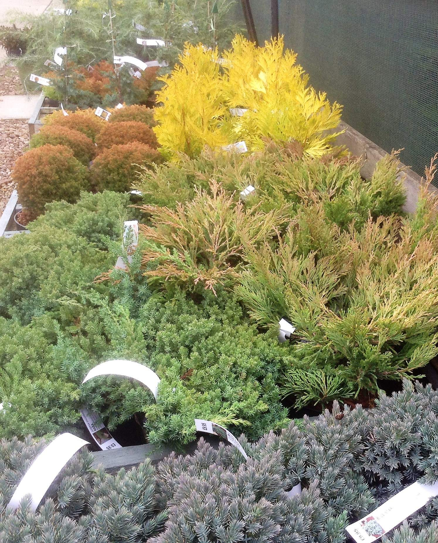 DWARF CONIFERS- British Pot Grown