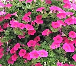 Petunia Surfinia Pink Mini
