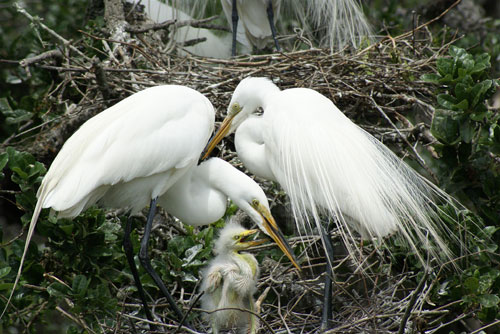 Great-white-egret-chicks-France
