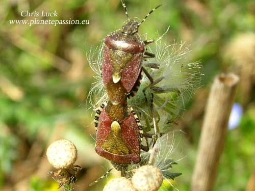 Sloe or Hairy Shieldbug, Dolycoris baccarum France