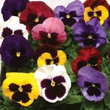 Pansy Winter Select Mix