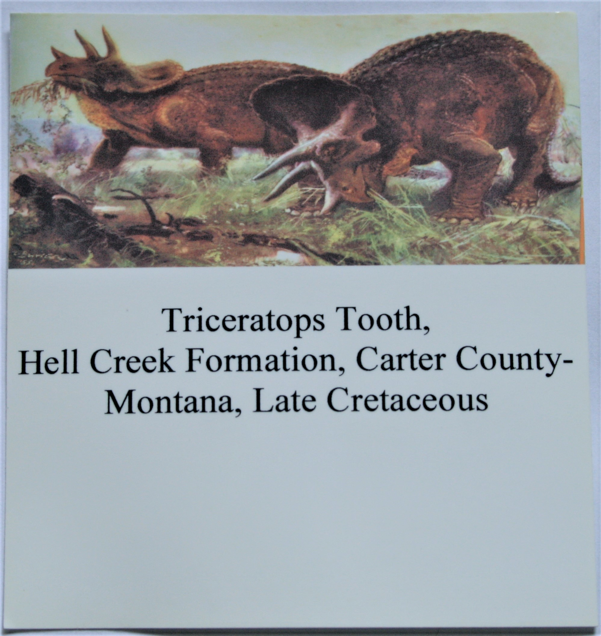Triceratops tooth