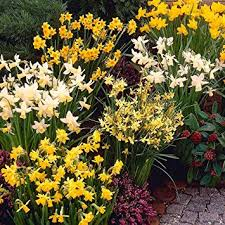 20 Narcissus Mixed - Saving 50%