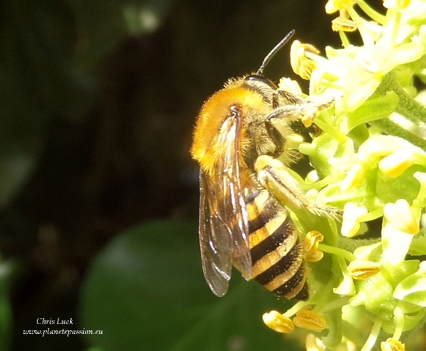 Ivy bee , Colletes hederae, L'abeille du Lierre France