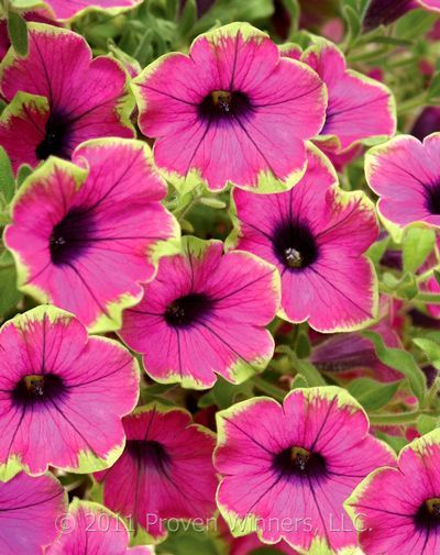 Petunia Surfinia Green Edge Purple