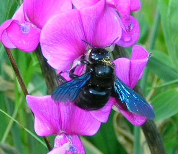 Carpenter bee France