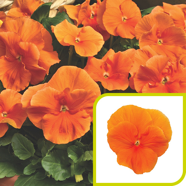 Pansy; Pure Orange