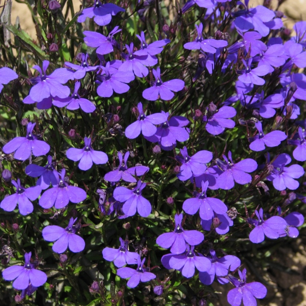 Lobelia Bush Crystal Palace