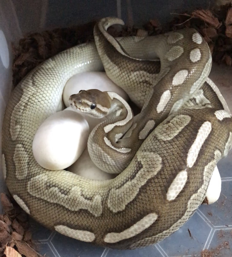 Female Royal Python sat on her eggs