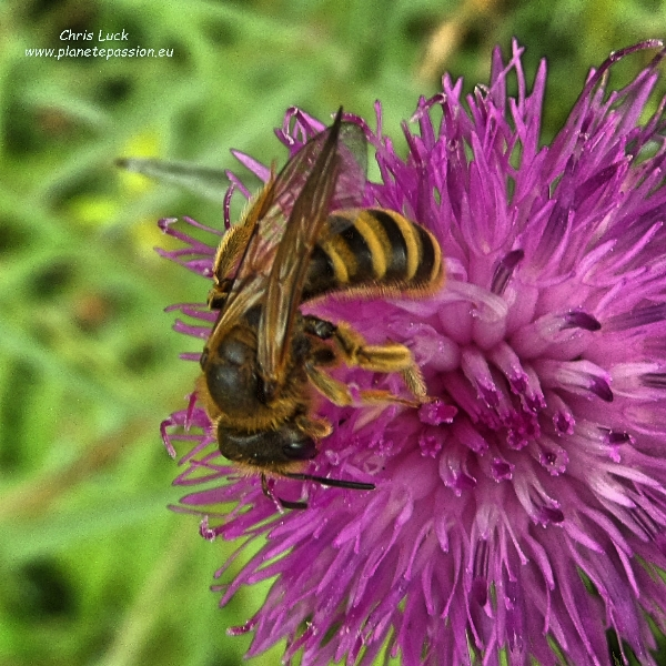 Halictus-scabiosae on tuberous thistle France