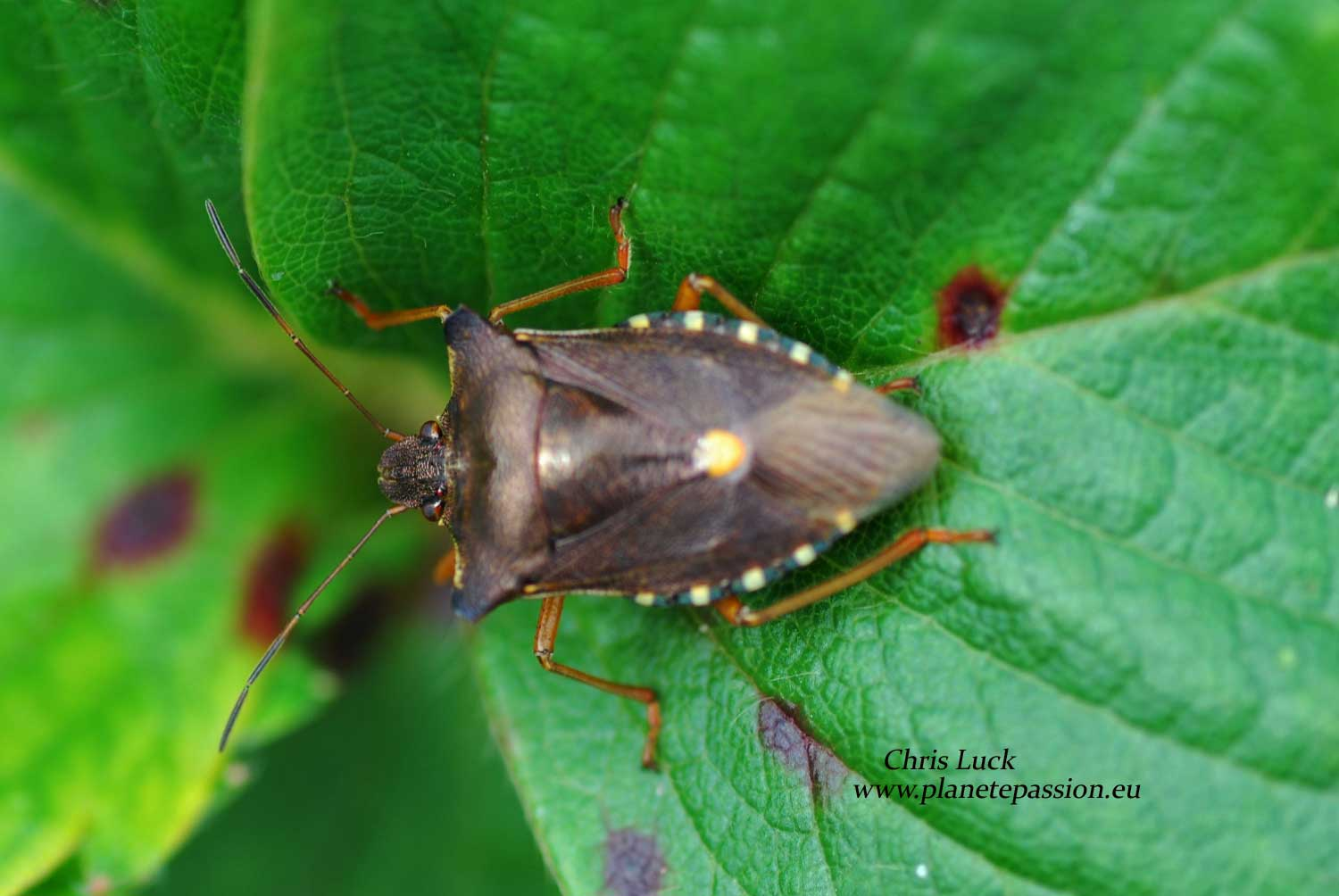 Red legged shield bug France