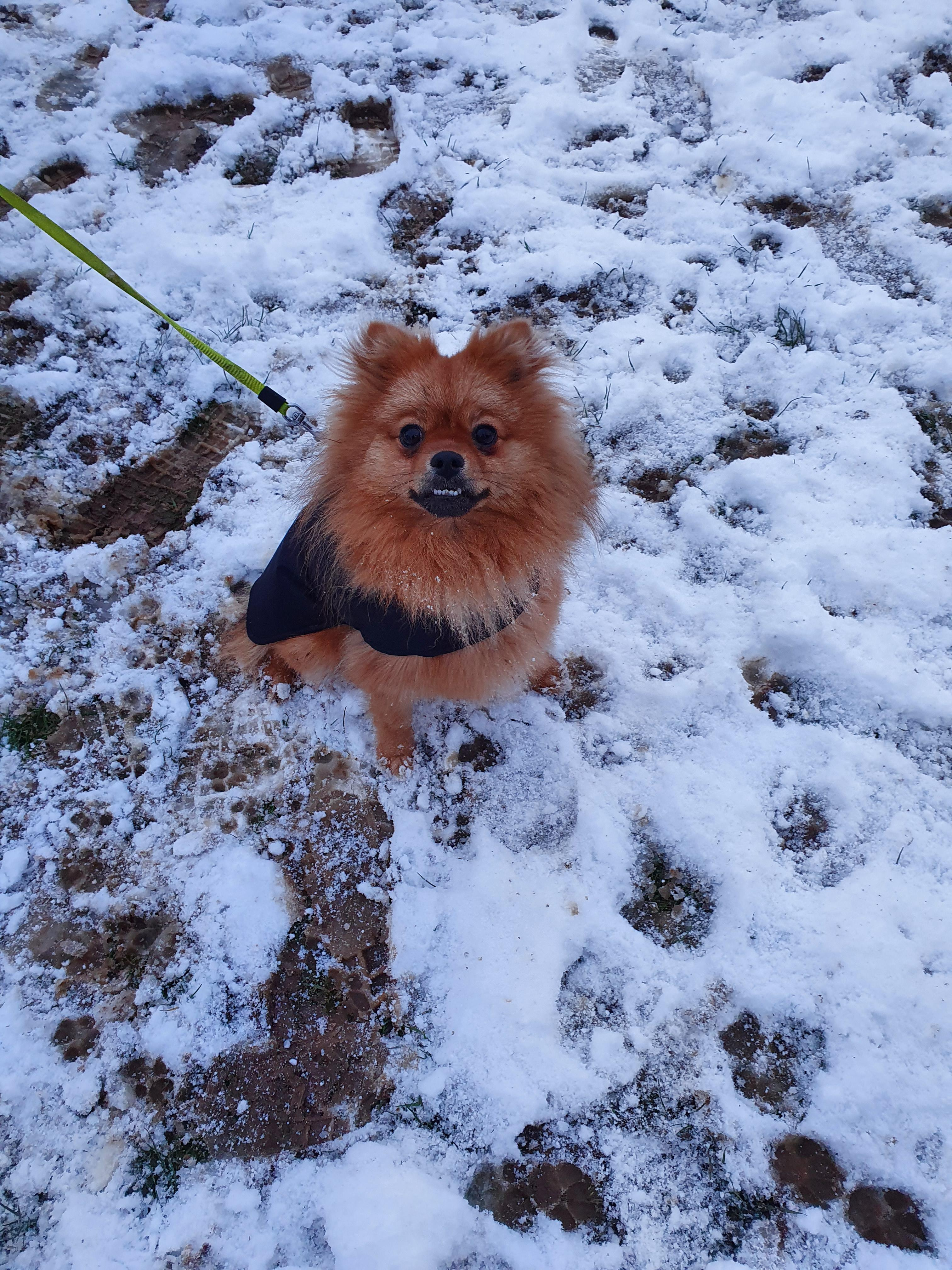 1 year old Pomeranian Fox
