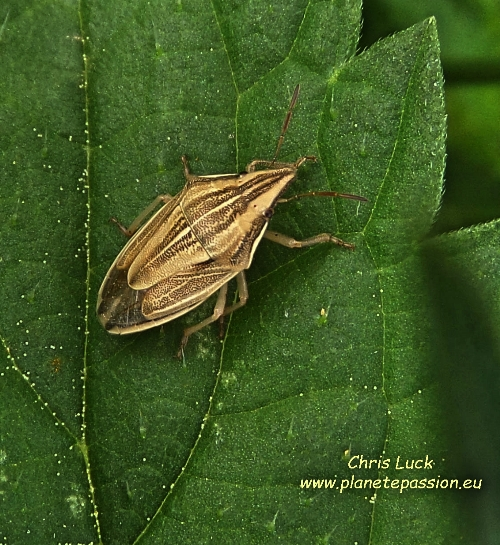 Bishop's Mitre Shieldbug,  Aelia acuminata France
