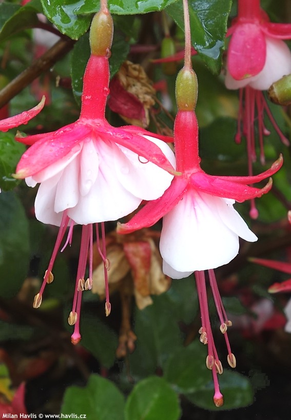 Fuchsia Lady Thumb