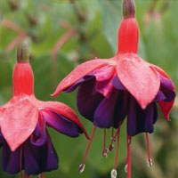 12 Fuchsia Mixed - Choose from Trailing, Bush or Hardy - named varieties
