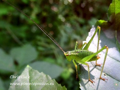 Speckled bush cricket France