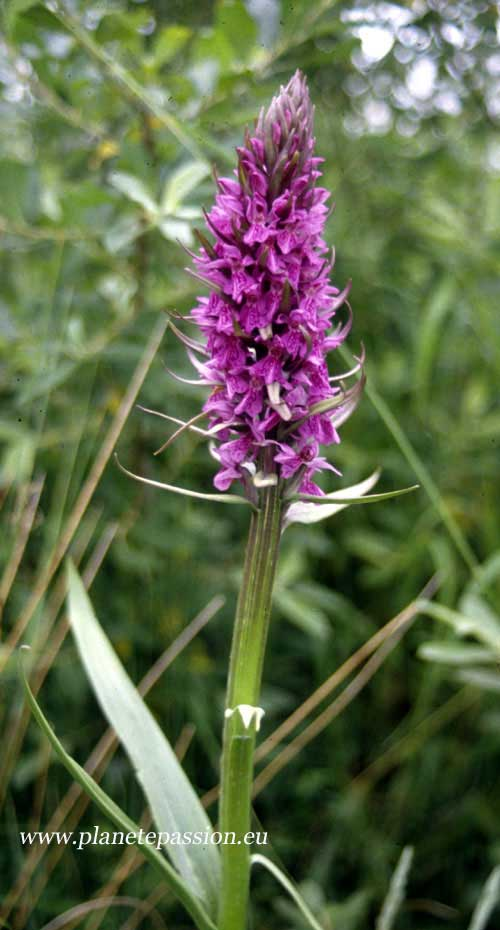 Southern Marsh Orchid  Dactylorhiza praetermissa in France