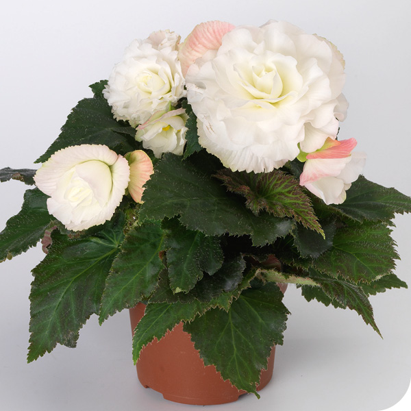 Summer; Nonstop Begonia White