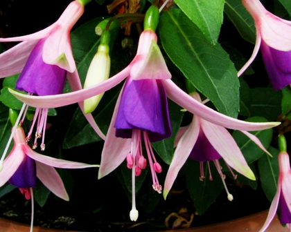Fuchsia Jollies Force Calais