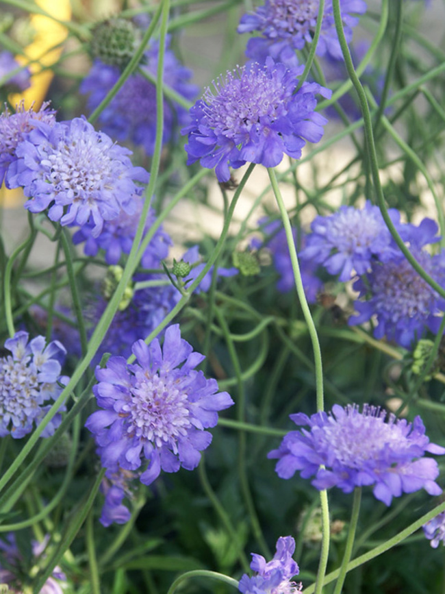 Scabiosa Pincushion Blue