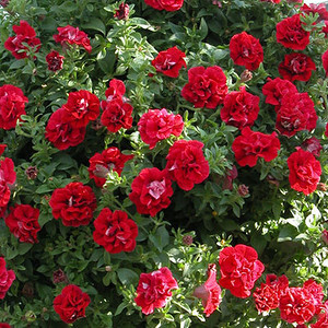 Petunia Surfinia Double Red