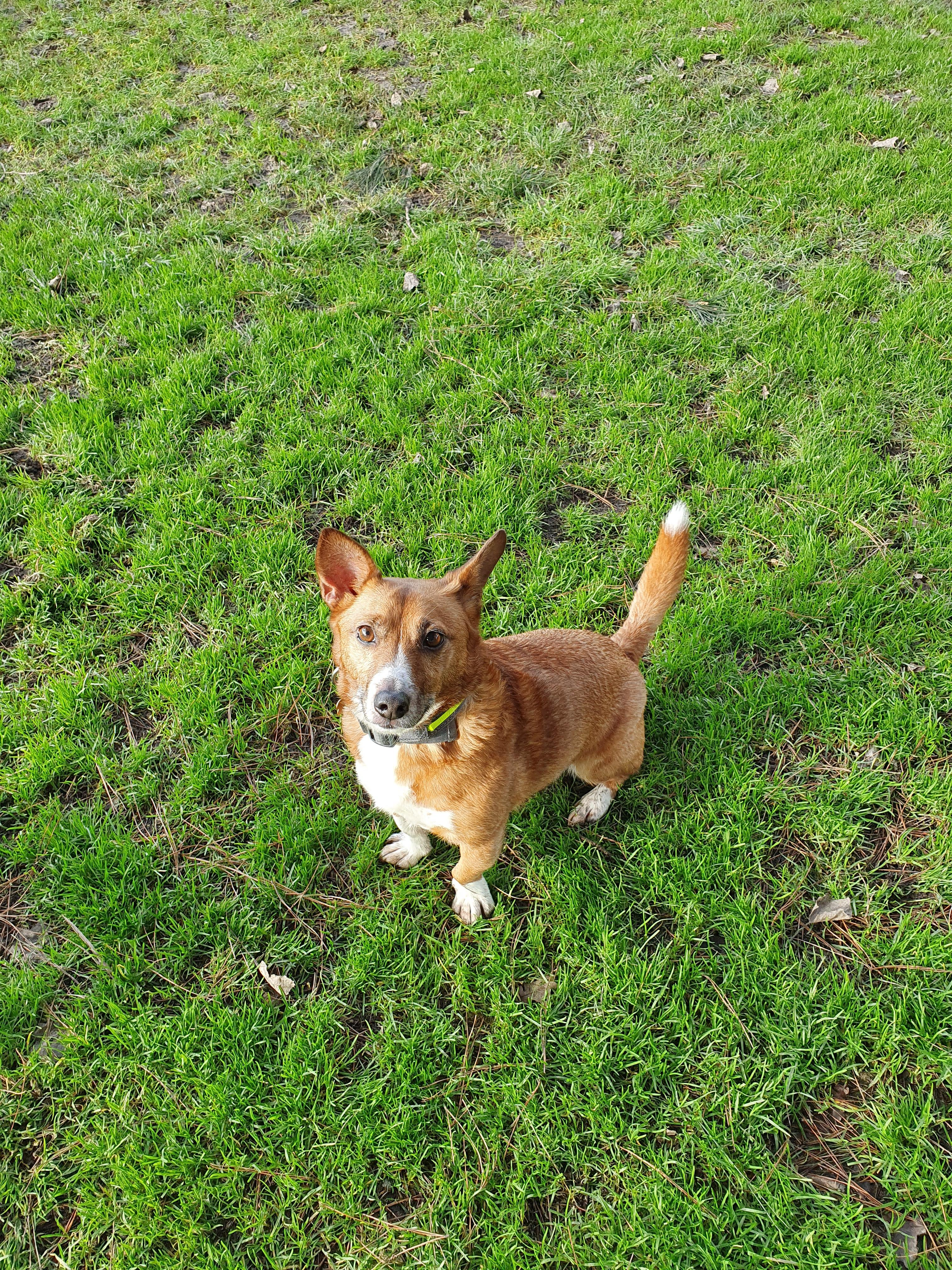 7 year old Corgi/Jack Russell