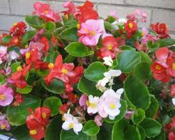 Begonia Semperflorens Green Leaf Mix