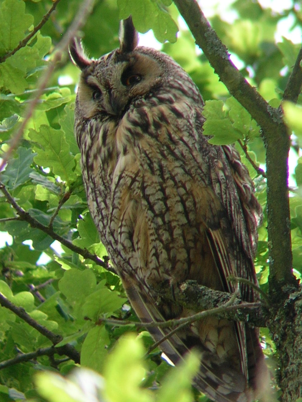 Long eared owl France
