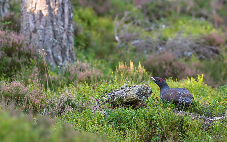 NF-Capercaillie-1---6th-October-2016jpg